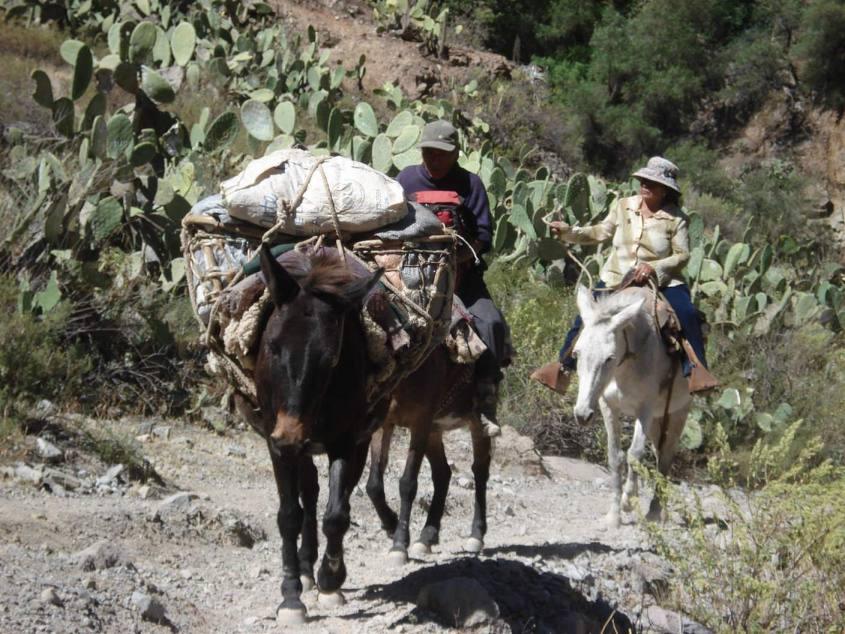 Asinelli da soma nella salita all'interno del Canyon del Colca