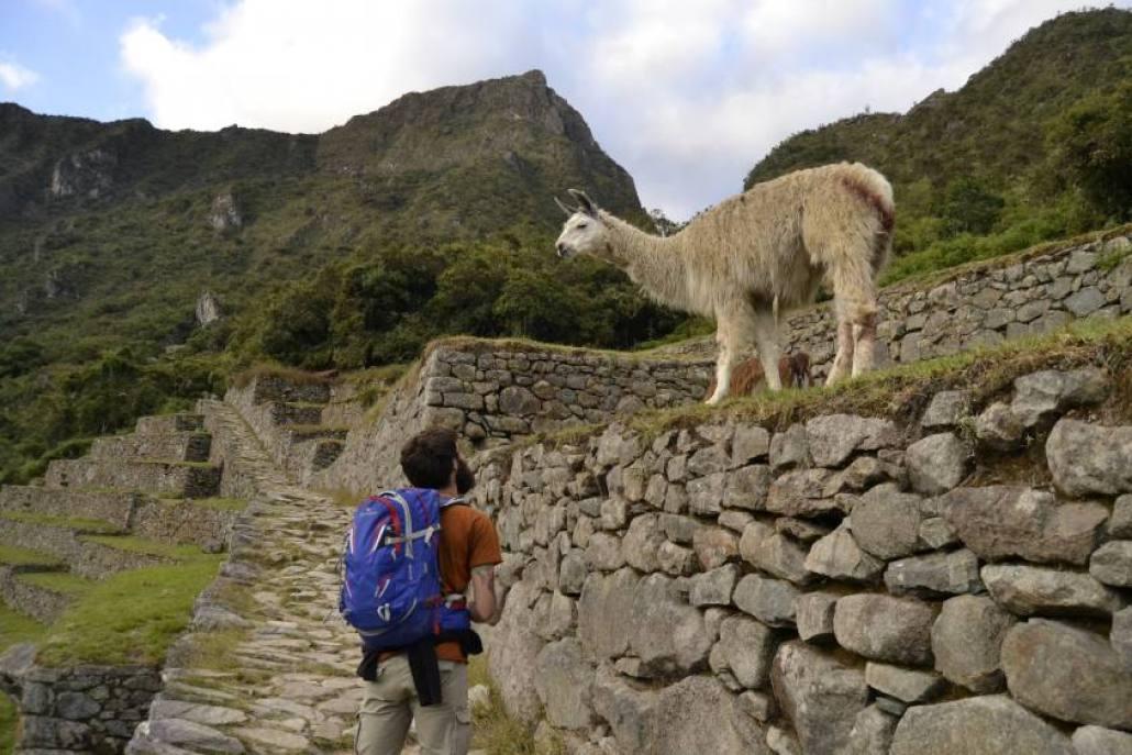 Lama a Machu Picchu
