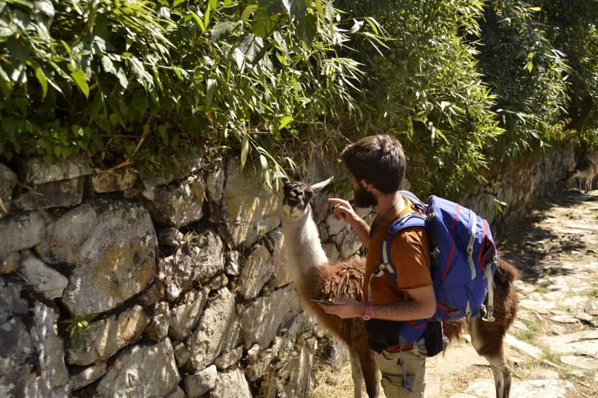Incontro ravvicinato con un lama di Machu Picchu
