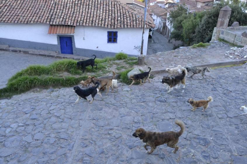 Cani randagi a spasso per Cusco in Perù