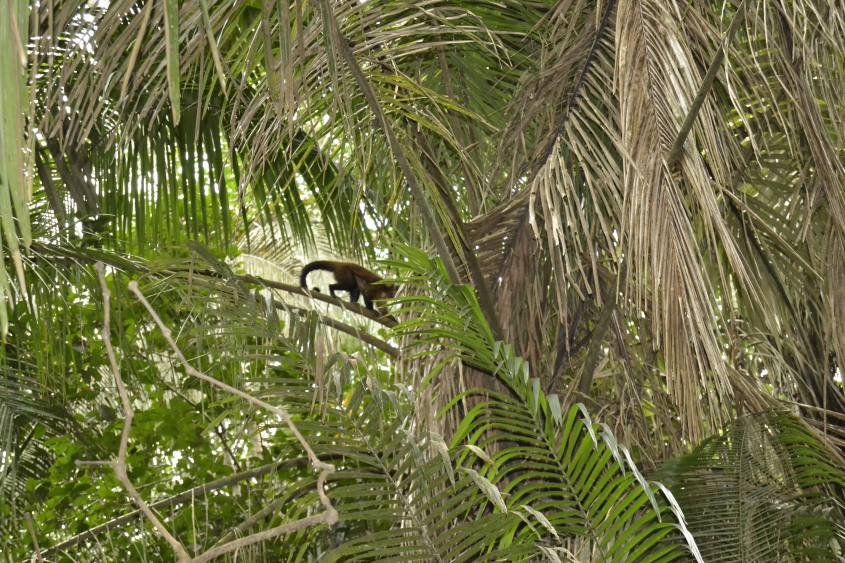 Scimmie sugli alberi della Riserva Tambopata nella Foresta Amazzonica in Perù