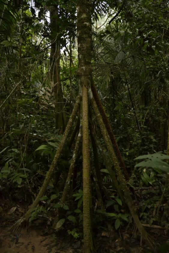 Strani alberi all'interno della Riserva Tambopata nella Foresta Amazzonica in Perù