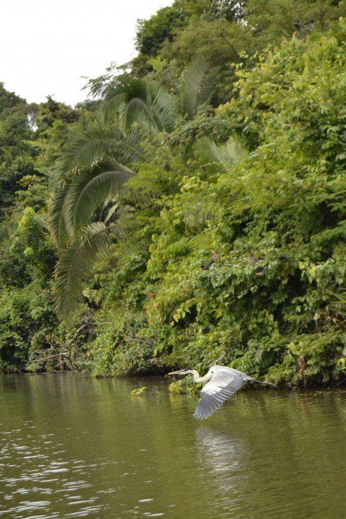 Cicogna volante Tambopata lago Sandoval