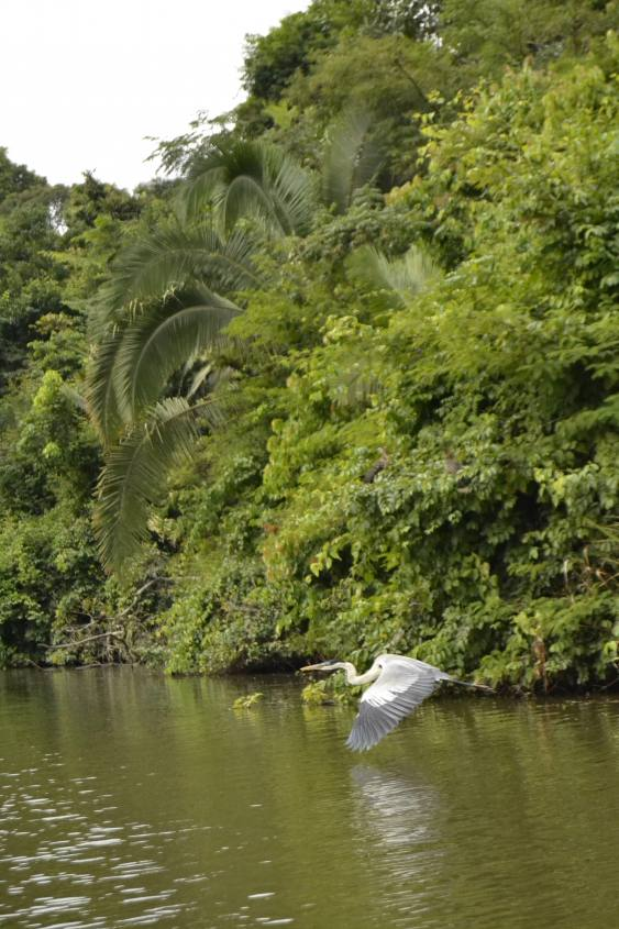 Airone in volo sul Lago Sandoval all'interno della Foresta Amazzonica in Perù