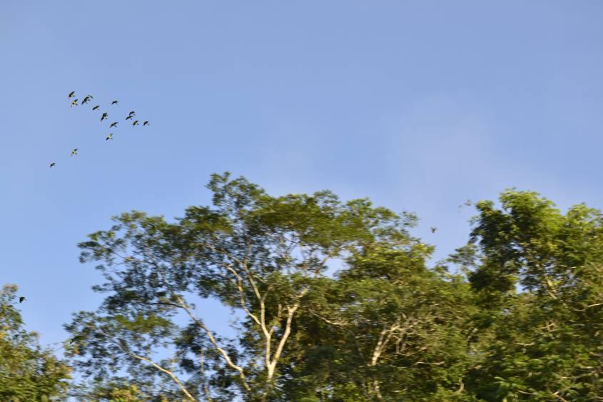 Arrivo in volo dei pappagalli alla Collpa de Guacamayos nella Riserva Tambopata