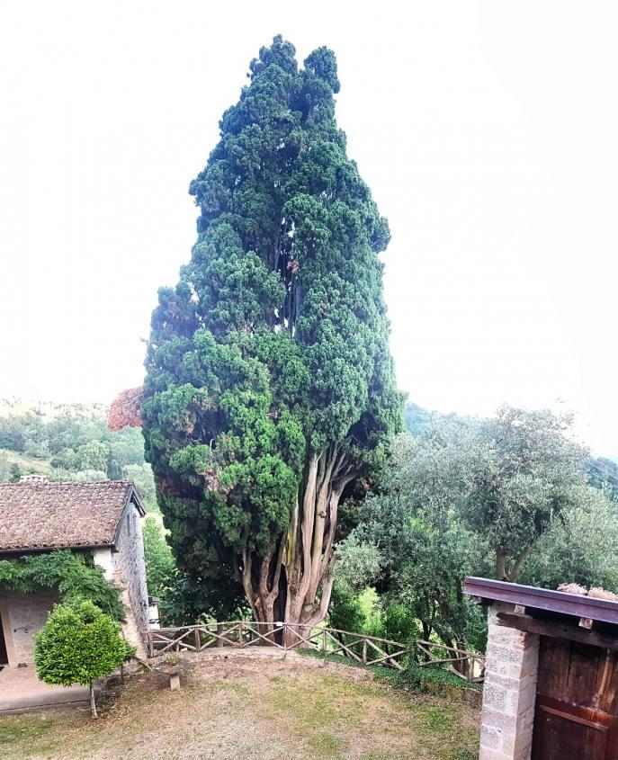 Cipresso di 700 anni al borgo di La Scola di Grizzana Morandi
