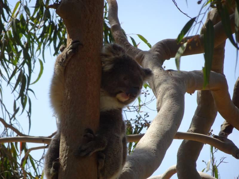 Un koala su un albero al Parco Nazionale di Yanchep a Perth