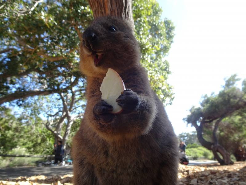 Quokka che ride a Rottnest Island a Perth