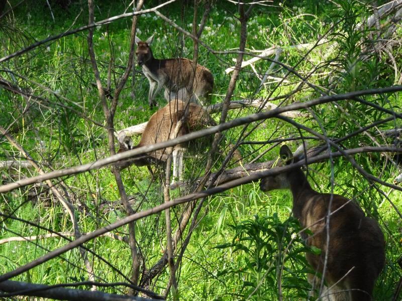 Gruppo di canguri nel percorso Woodlands