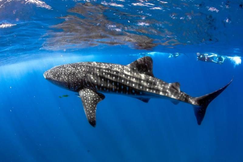 Nuotare con lo squalo balena nella barriera corallina Ningaloo Reef in Western Australia