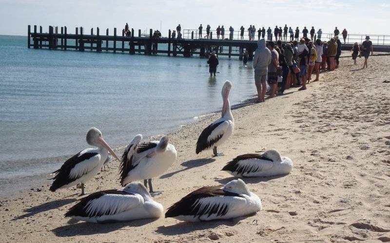 Pellicani e turisti ai delfini di Monkey Mia di Shark Bay