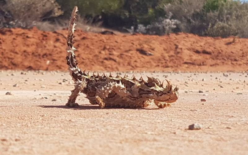 La lucertola con spine Thorny Devil a spaso per Francois Peron a Shark Bay