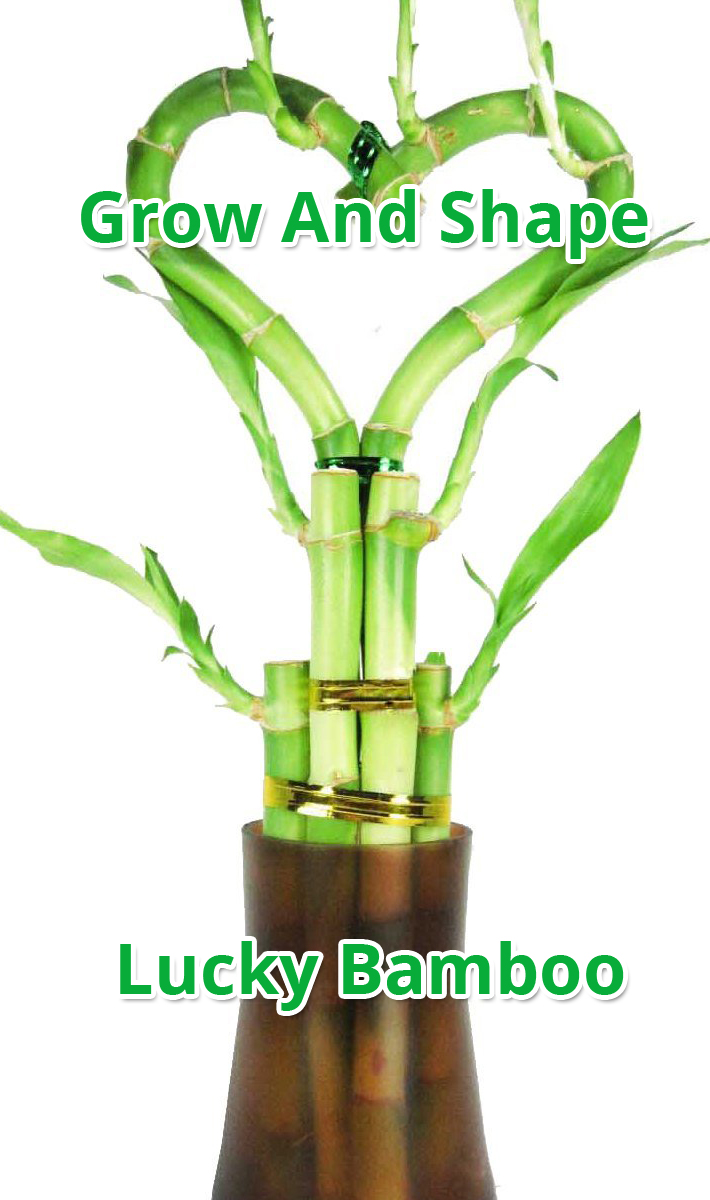 How To Grow And Shape Lucky Bamboo