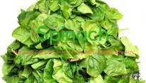 Planting, Growing, Harvesting And Storing Spinach Plants