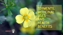 Medicinal Uses And Health Benefits - Tormentil