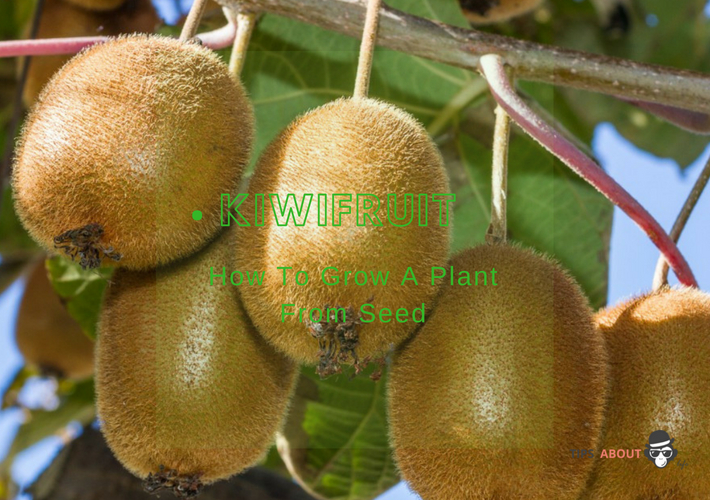 How To Grow A Kiwifruit Plant From Seed