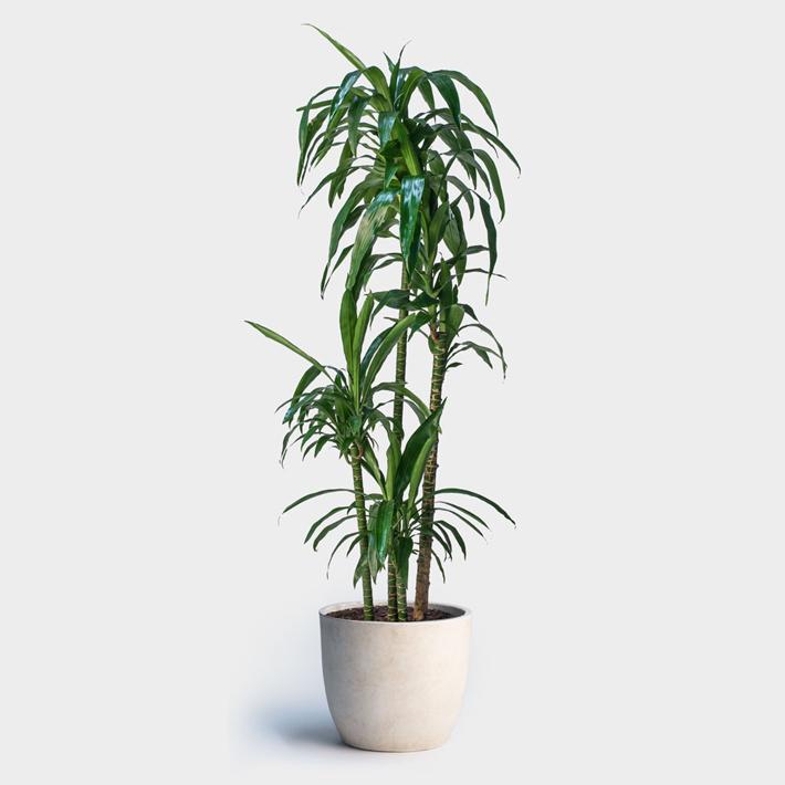 Best Indoor Plants For Asthma, Allergy Sufferers And Air Pollution