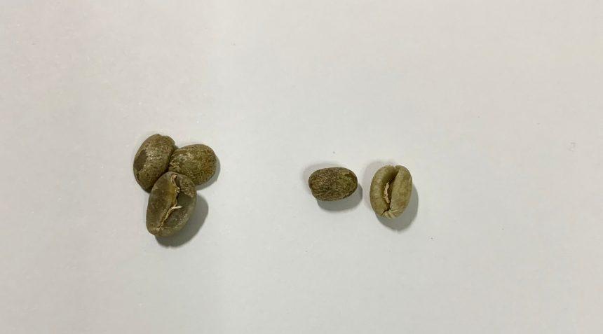 生豆の種類の1つピーベリー。