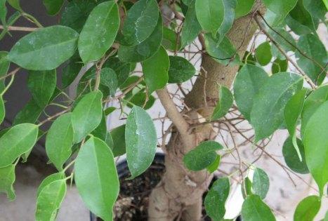 Ficus benjamina; una pianta originaria dell'Asia sudorientale e dell'Oceania appartenente alla famiglia delle Moraceae