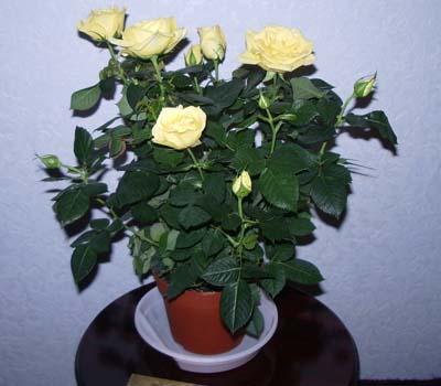 Уход за комнатными розами, Комнатные розы - комнатные ...