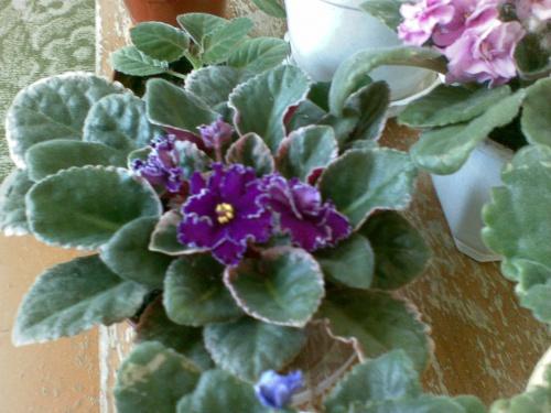 Цветущие комнатные цветы., уход, выращивание, обрезка ...