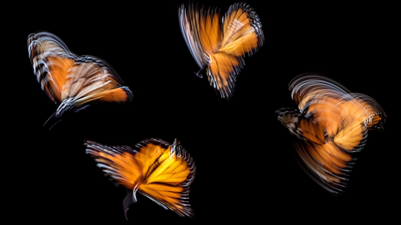 Butterflies moving