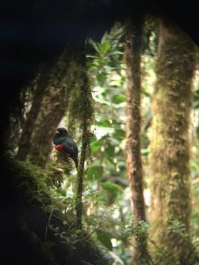 male masked trogon