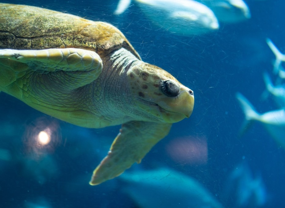 A beautiful rescued sea turtle swimming in South Carolina Aquarium.