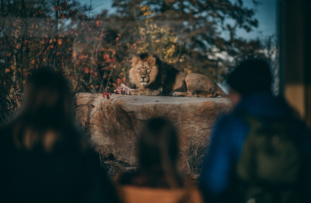 A lion, just one of the animals at Chester Zoo.