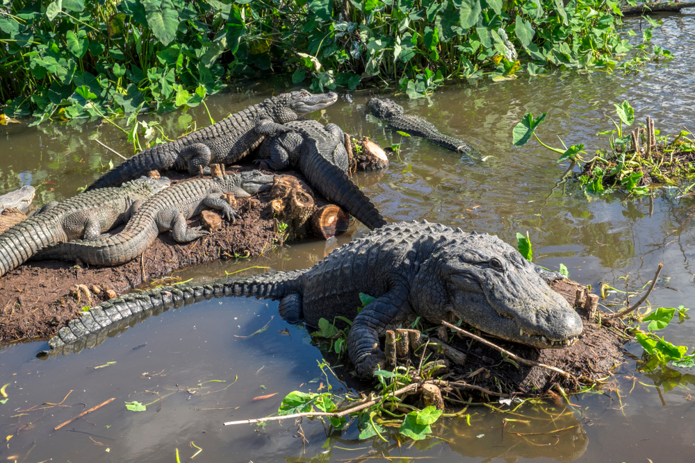 A number of the alligators at Gatorland relaxing in the swamp.