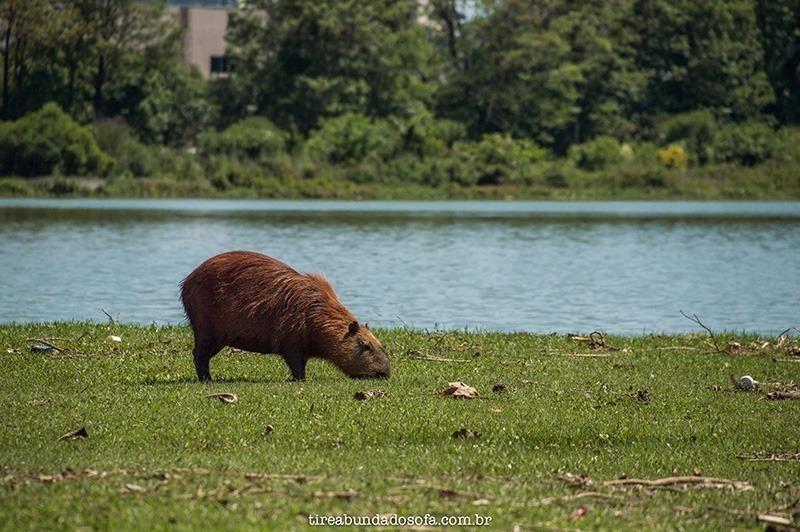 Capivaras selvagens soltas no parque barigui