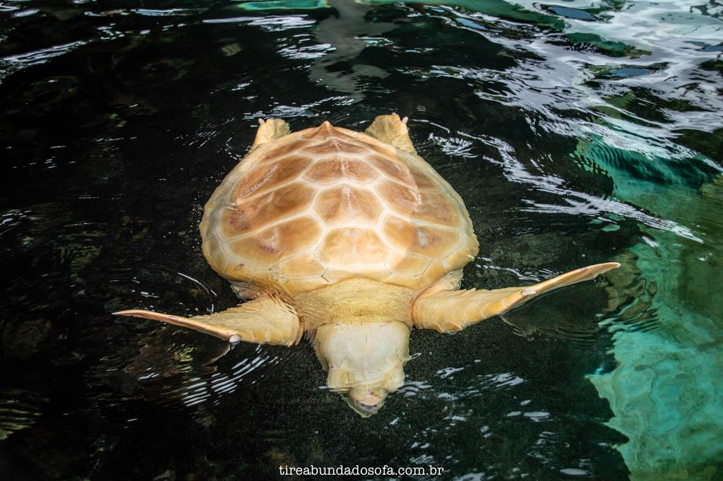 Rara tartaruga albina, no Projeto TAMAR de Ubatuba