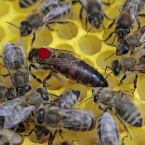 Carnica Bienenkönigin gezeichnet - markiert