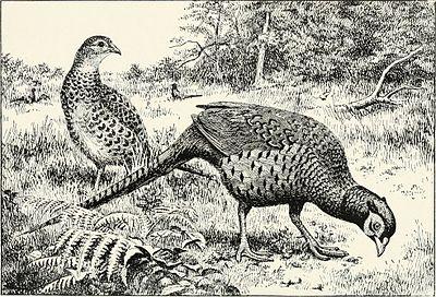 Зеравшанский фазан