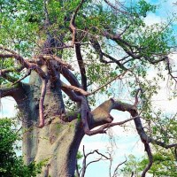 Anthology Baobab: African Story Tree