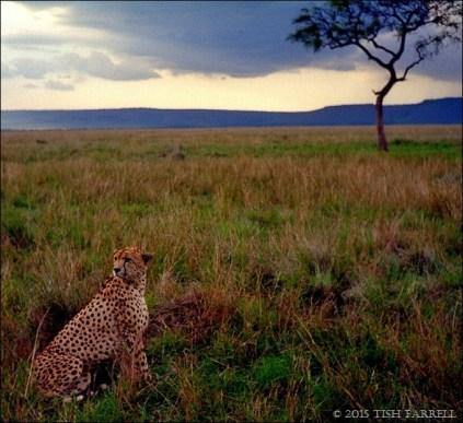 cheetah-1_thumb.jpg