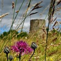 A Matter of Focus ~ Fond Thoughts Of High Summer On Windmill Hill With Greater Knapweed And Assorted Grasses