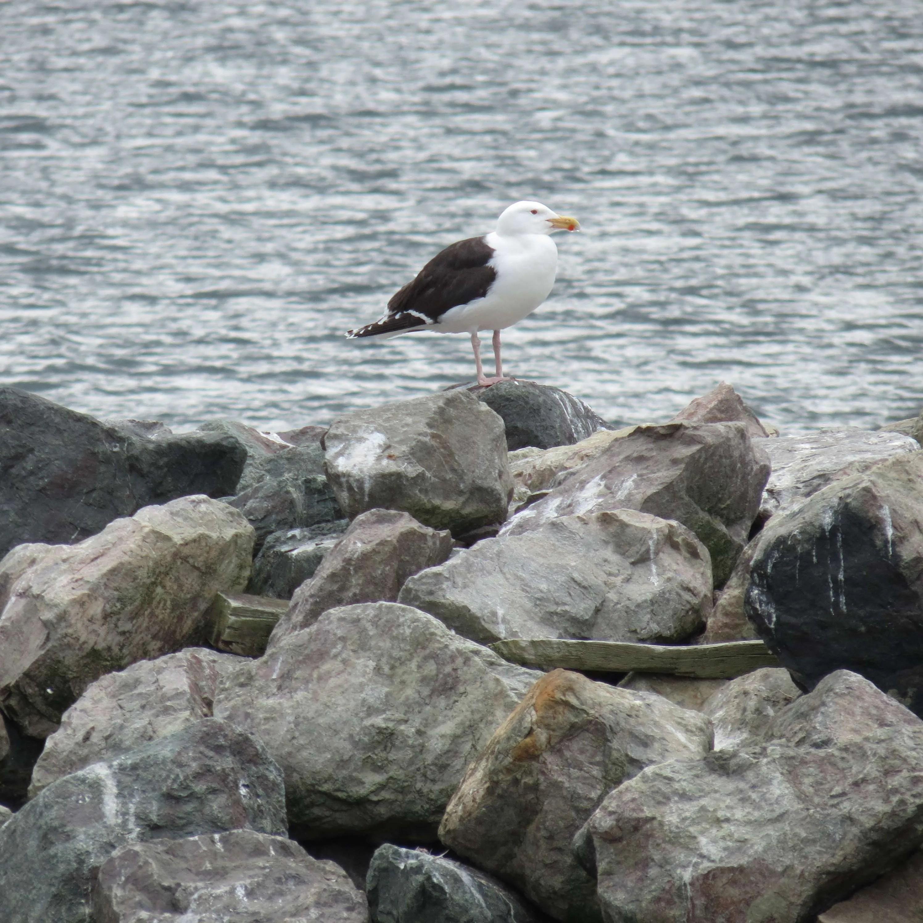 Seagull at Belle Cote Wharf