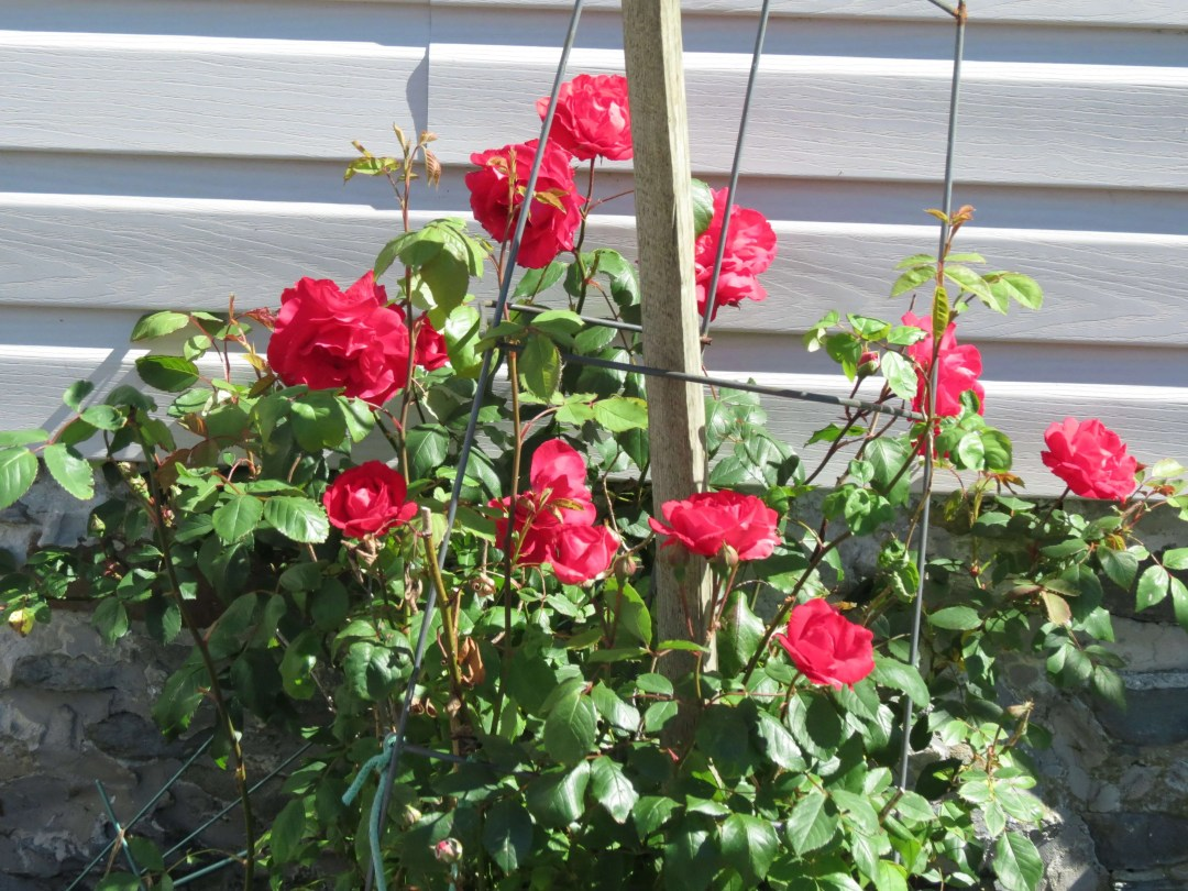 Roses in Lower East Pubnico.