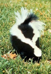 Striped_skunk