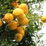 柚子の植え付けとユキノシタ