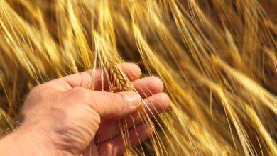 Red Leaf Pulp Ltd., developer of a proprietary wheat straw-based pulp mill,