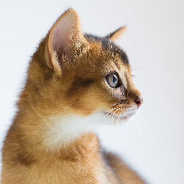 abesszin macska profil