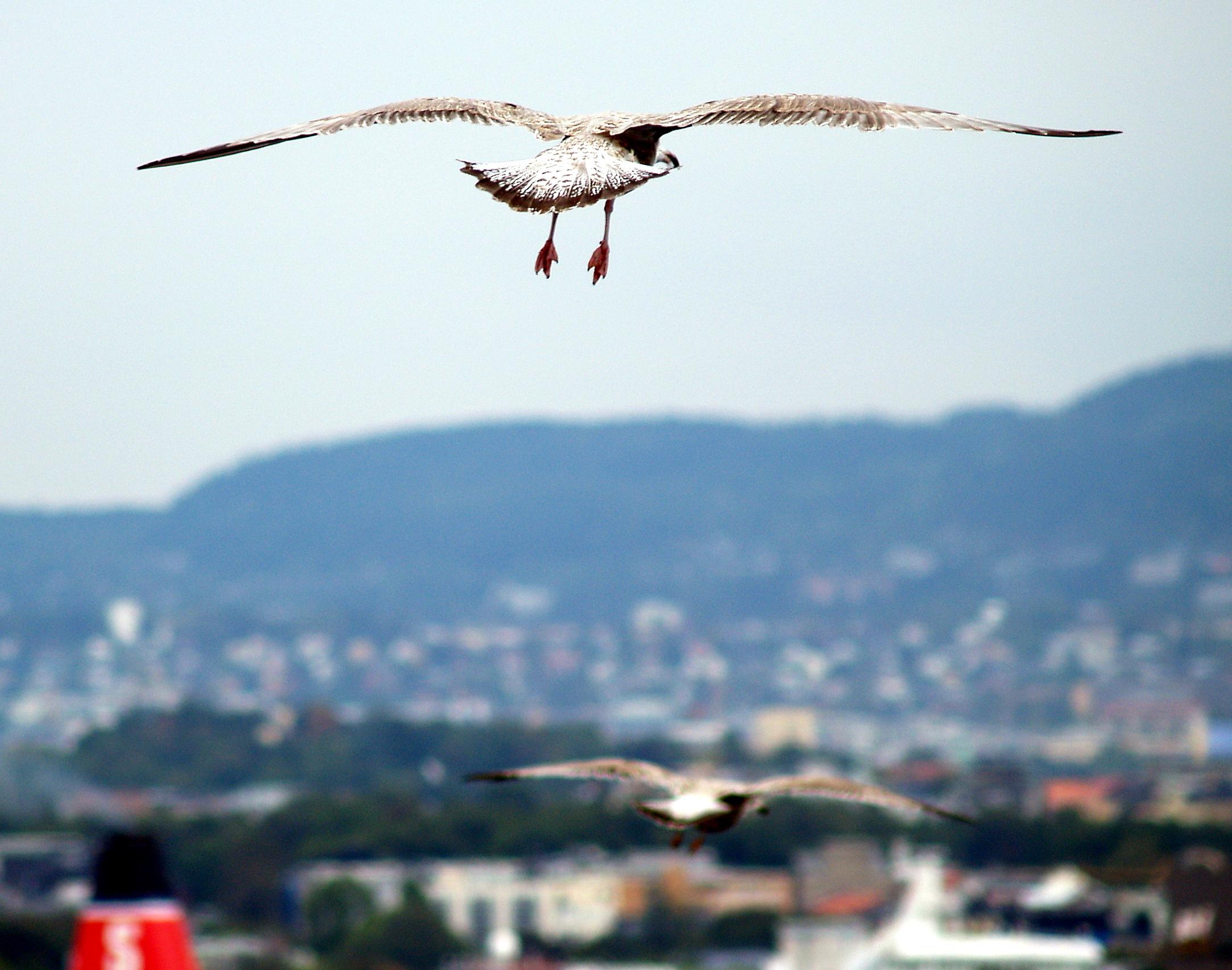 Oslo - 78 gulls