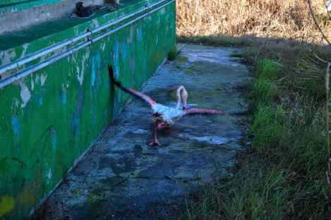 After 6 days of search, they found the first and only living flamingo in this area. The bird has been captured and sent to Tehran for further tests. The number of dead migratory birds have reached 7,000, the carcasses were mostly from three bird species of Flamingo, coot and Northern shoveler.