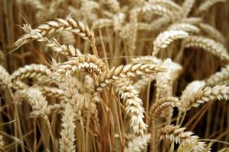 golden-wheat-1326335-1279x852
