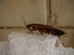 Kakerlake auf einem handtuch im Bad