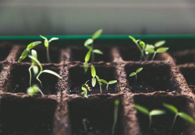 seeds growing in dirt seedlings