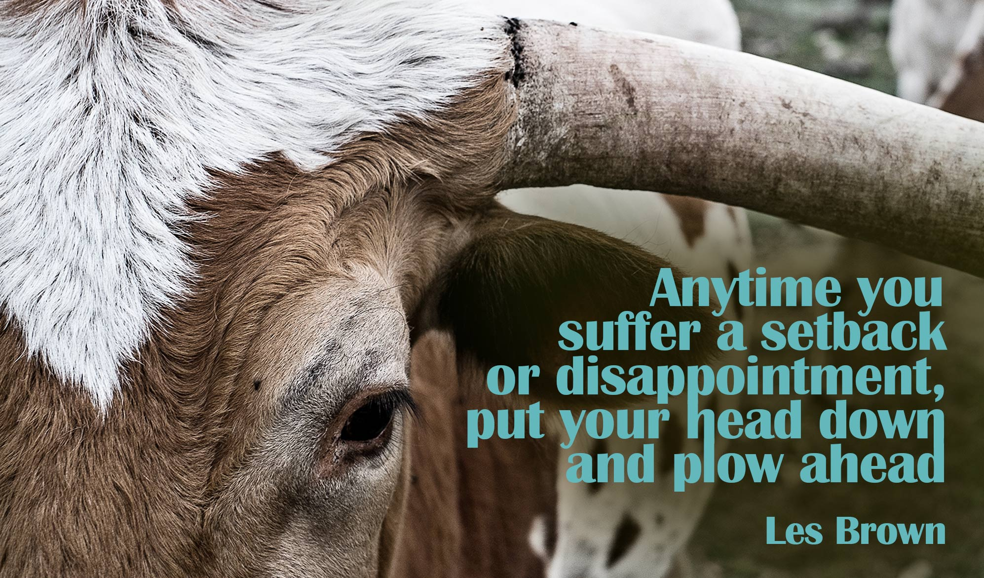 daily inspirational quote image: close up of a bull