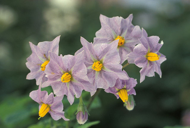 Purple and Yellow Potato Flowers